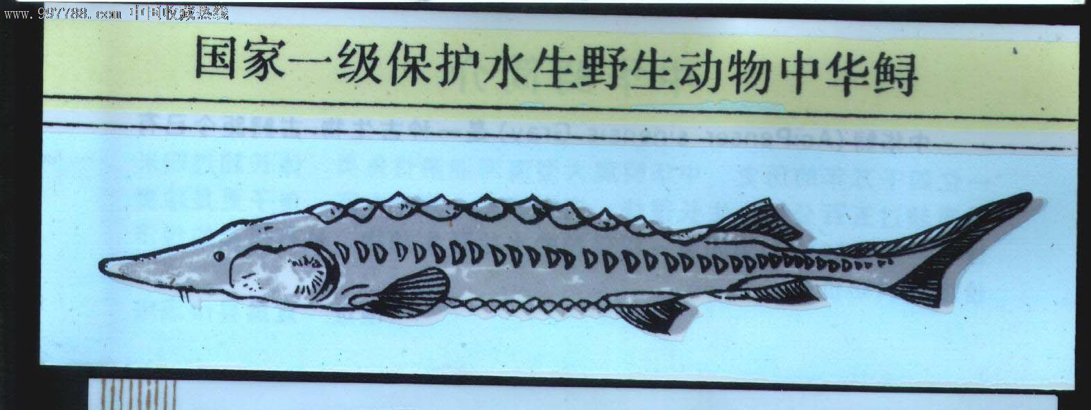 中华鲟.图片