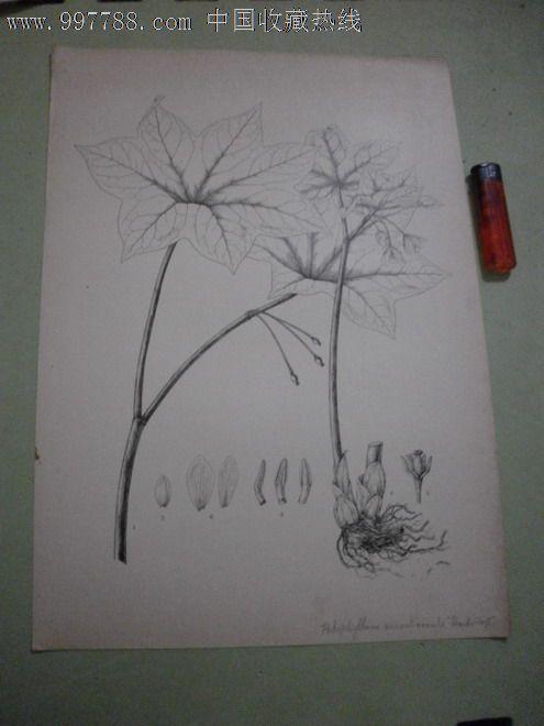 民国静生生物调查所植物标本图零售