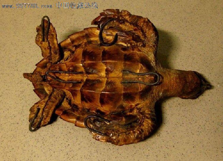 非常漂亮的真乌龟标本