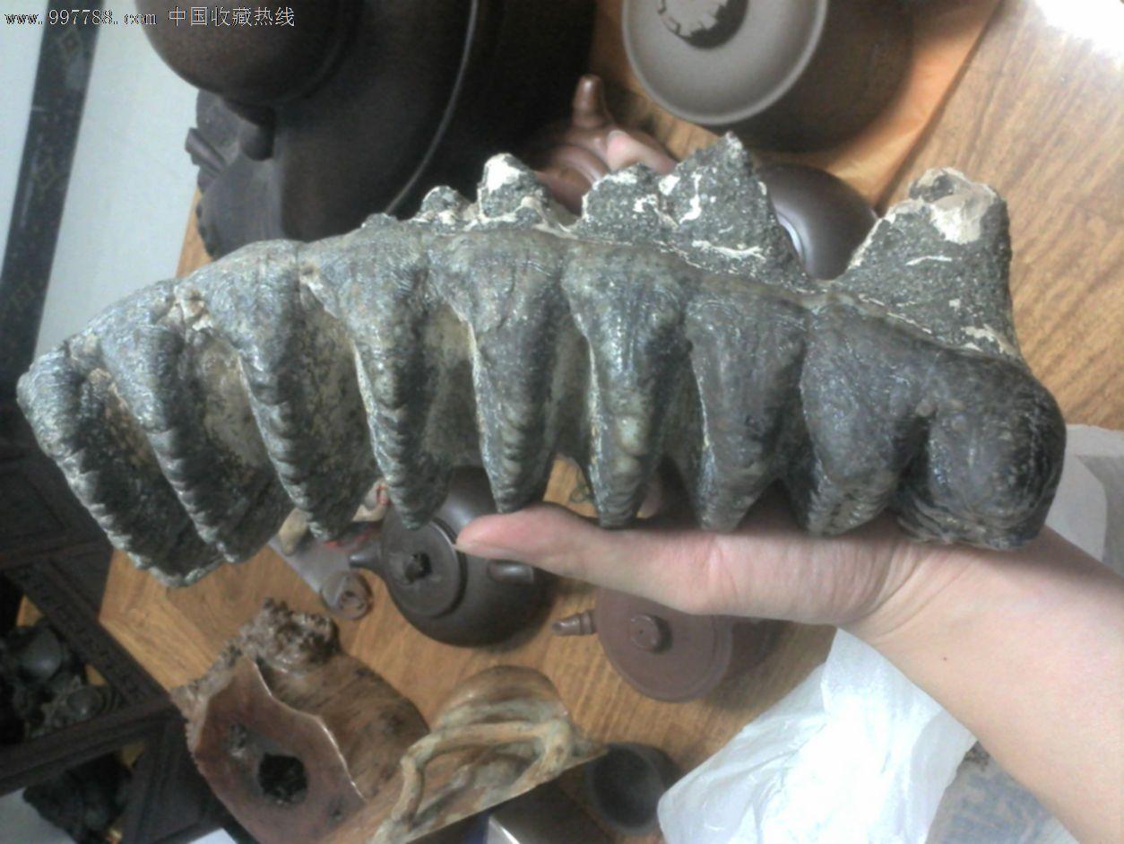 牙化石摆件远古动物