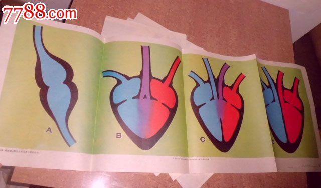 和鸟类心脏的比较