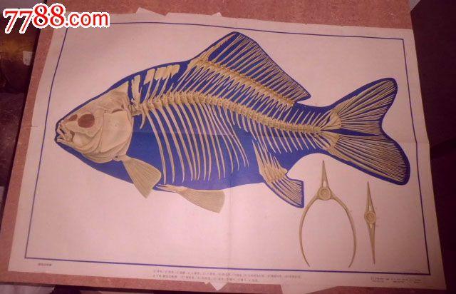 鲫鱼内部解剖图手绘