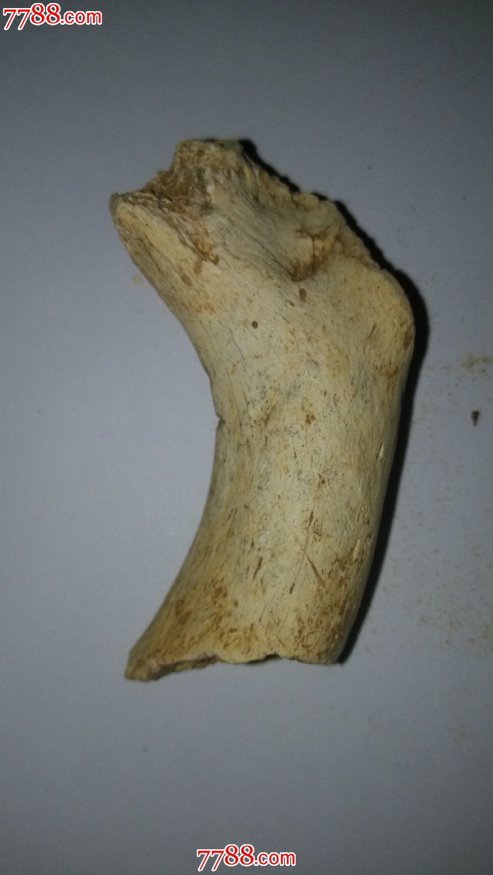 动物骨头化石一枚