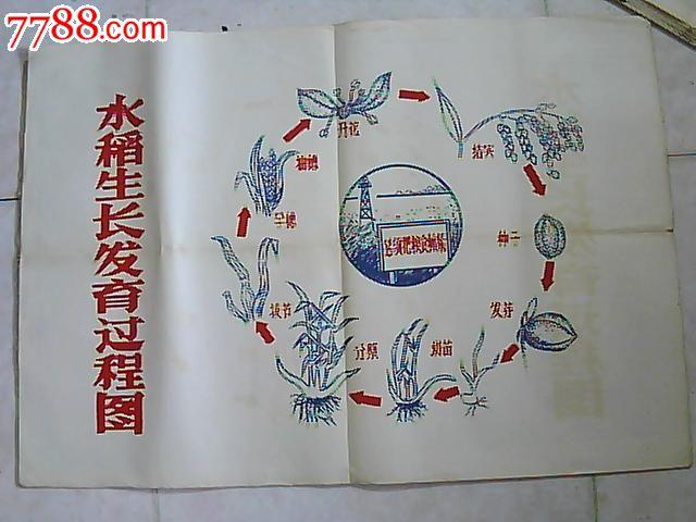 五十年代水稻生长发育过程挂图