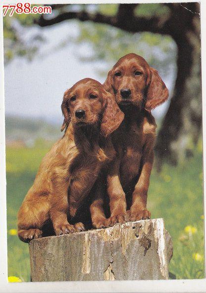 外国原版明信片瑞士动物狗