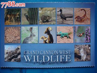 美国明信片--大峡谷西缘野生动物