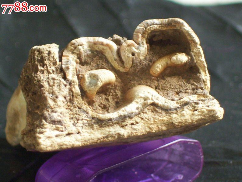 万年前远古时代古动物海龙牙齿化石